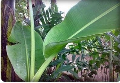 Image result for daun pisang muda bergulung
