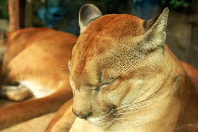 Puma en Costa Rica