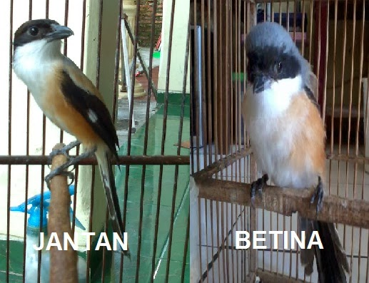 Ciri Burung Cendet Jantan Dan Betina Dewasa Trotol
