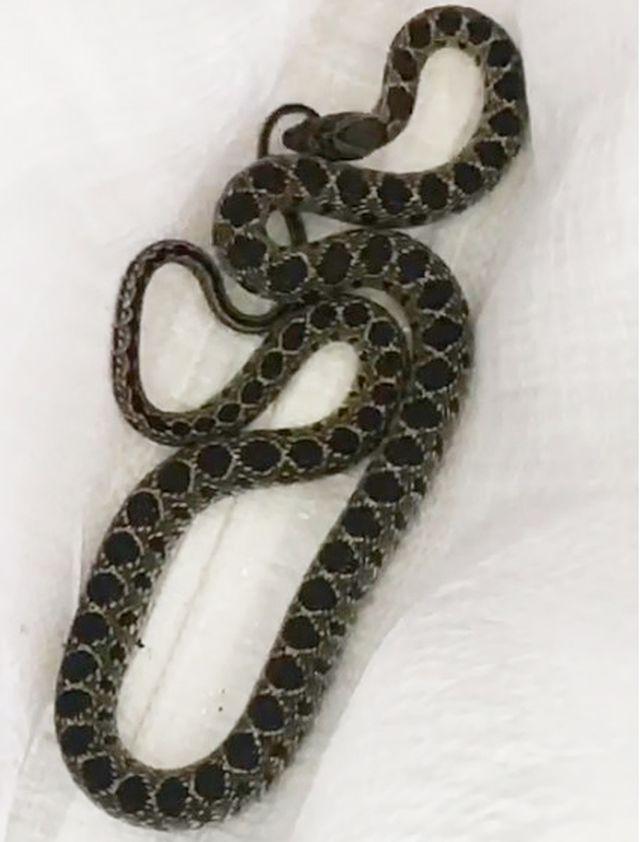 Serpiente en Arica