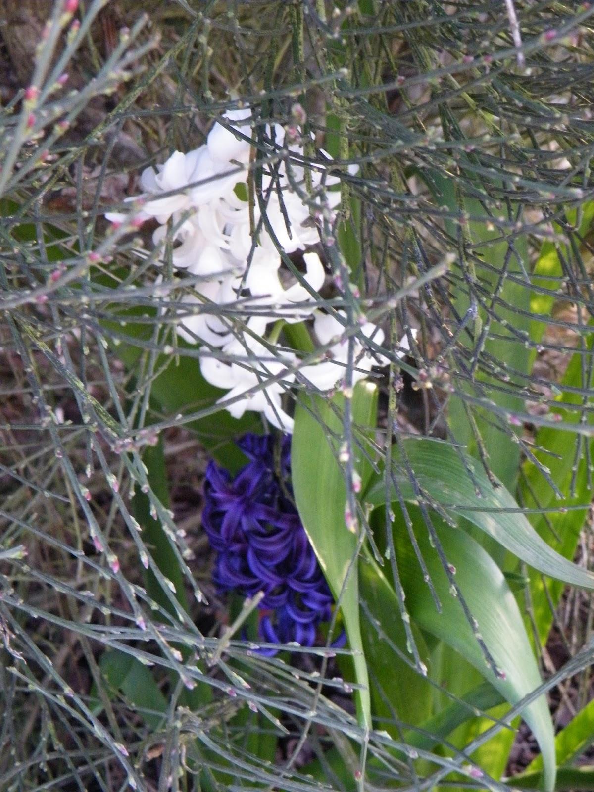 Du four au jardin et mes dix doigts jacinthes for Plante 5 doigts bahamas