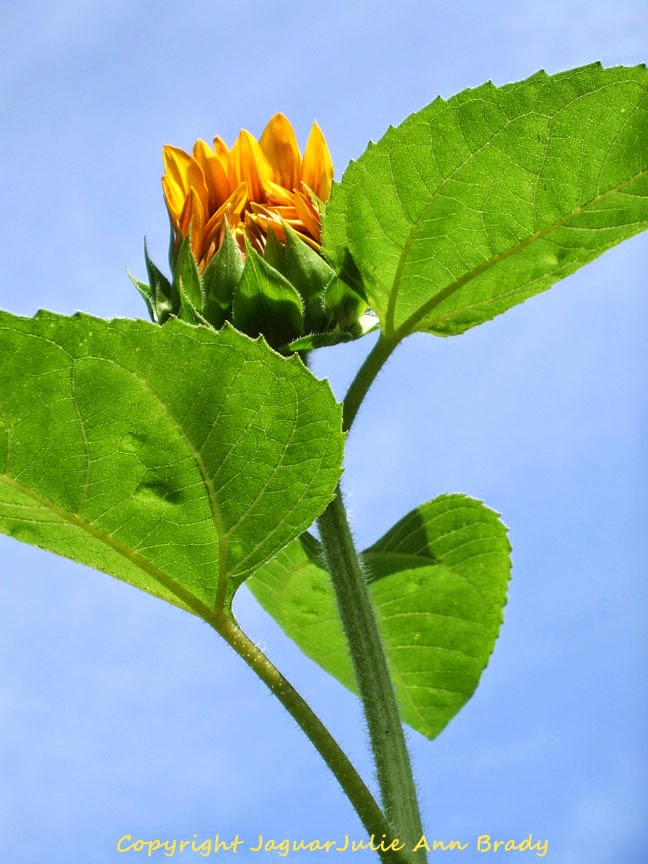 First Artsy Autumn Beauty Sunflower Blossom of 2014