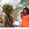 Pohon Kurma Sudah Banyak Tumbuh dan Berbuah Lebat di Indonesia, Pertanda Apakah Ini ?