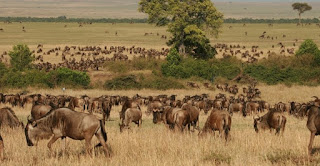 Masai Mara wildebeest migration safaris in Kenya
