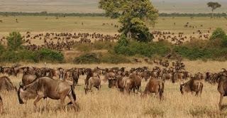 Masai Mara wildebeest migration safaris in Kenya