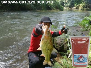 Umpan Ikan Mas Subang Khusus Di Sungai