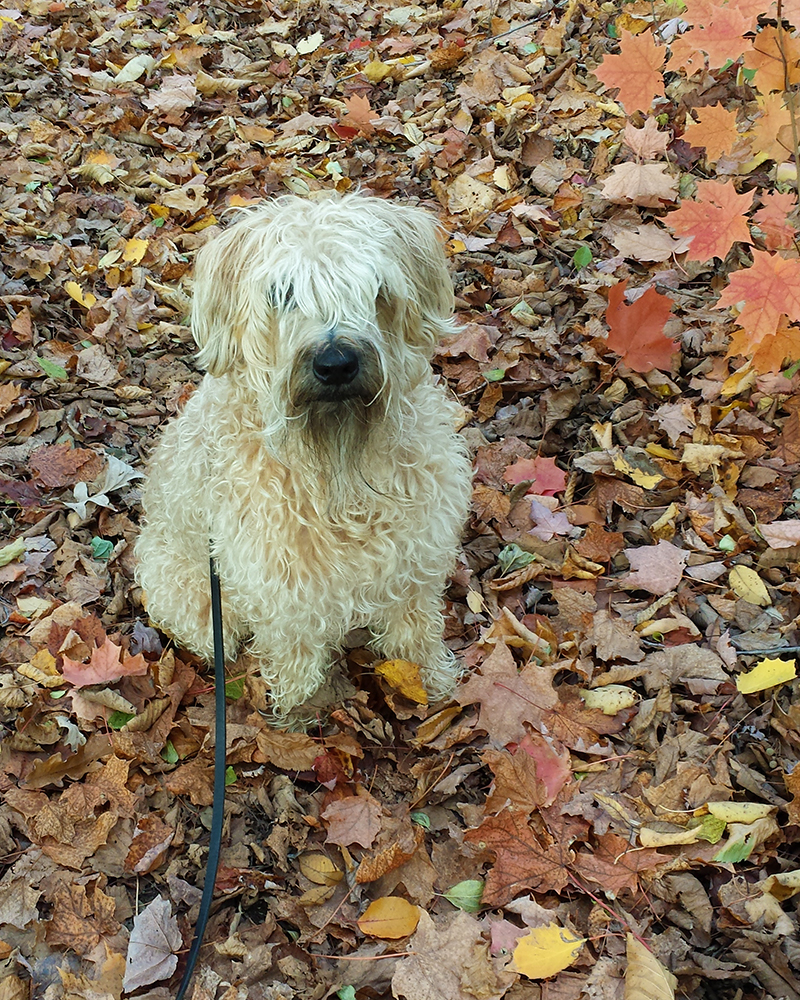 Soft coated wheaten terrier with autumn leaves