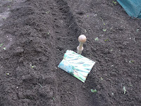 Allotment Growing - Sowing Peas