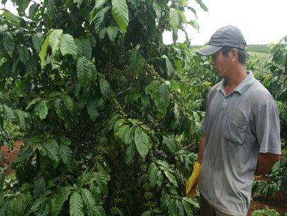 Cấp giống miễn phí cho nông dân trồng 270 héc ta cà phê
