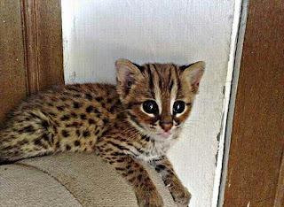 Cara Memelihara Kucing Hutan