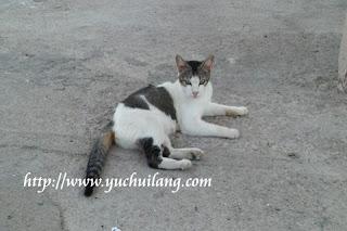Kucing Merlimau