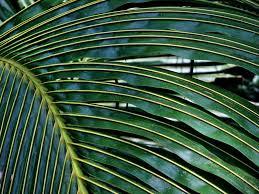 manfaat daun kelapa