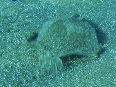 Weitaugenbutt - Bothus podas © Canarian Sea 01