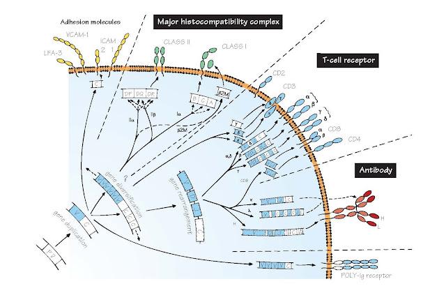 Evolution Of Recognition Molecules: The Immunoglobulin Super Family