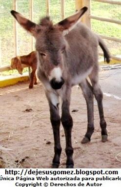Foto del burro del Nacimiento de Jesús en la Villa de Papa Noel. Foto de un burro de Jesus Gómez