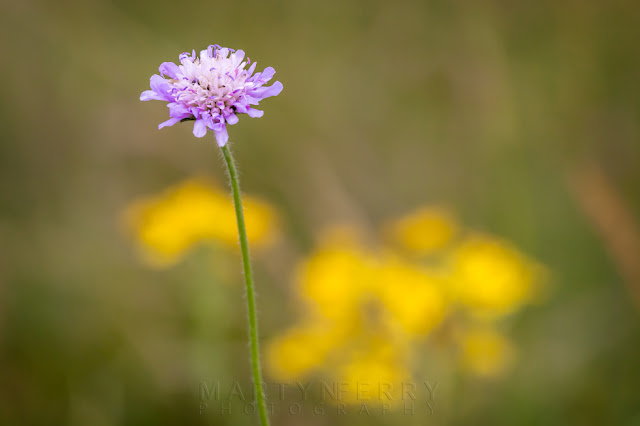 Macro image of a lilac field scabious with bokeh at Barnack Hills & Holes