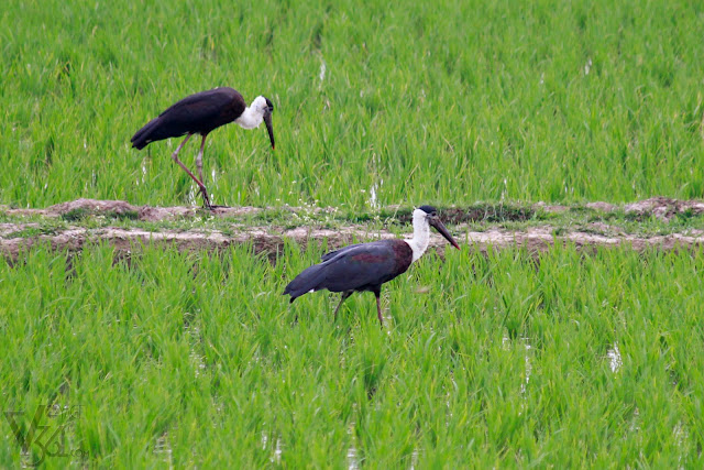 Woolly-necked Stork or whitenecked stork (75–92 cm tall) - Davangere