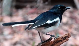 Semua Macam Jenis Burung Kacer Lengkap dengan Gambar, Jenis-jenis Burung Kacer Lengkap dengan Gambar, 5 Jenis Burung Kacer Terbaik Lengkap dengan Gambarnya