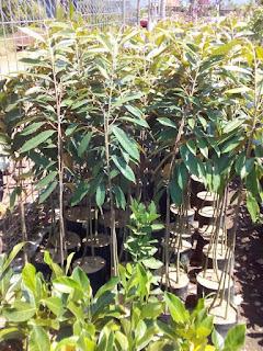 bibit-durian-bawor.jpg