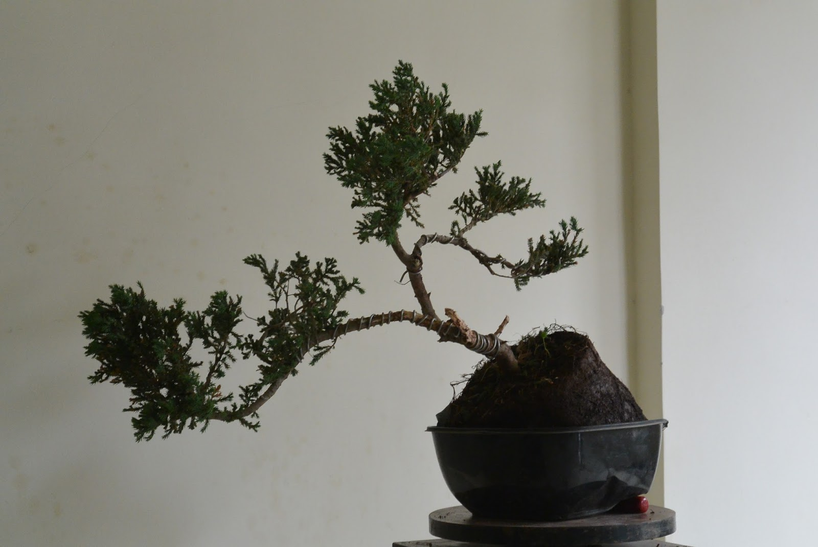 Kapilaascreations Bonsai Wiring Branches Is Started After Clearing The Main Trunk