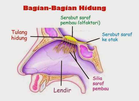 alat pernapasan manusia dengan hidung