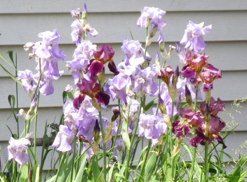 light purple iris