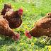 Vereador apresenta projeto inovador para prefeitura contratar galinhas com o intuito de acabar com o lixo