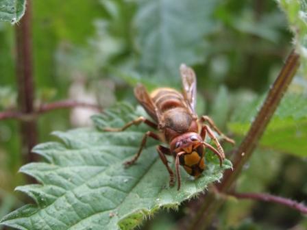 fressen hornissen äpfel an