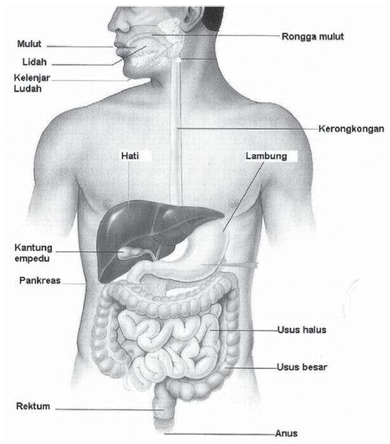 Sistem Pencernaan Makanan, Fungsi, Alat dan Saluran serta Proses Pencernaan Makanan pada Manusia