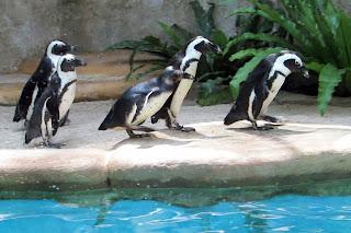 Pinguin Gembira Loka Zoo Jogja