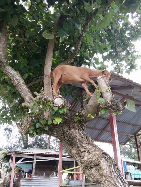 Kambing Yang Satu ini Makan Sedang Memanjat Pohon