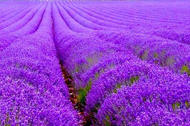 cánh đồng hoa oải hương đẹp nhất thế giới 10