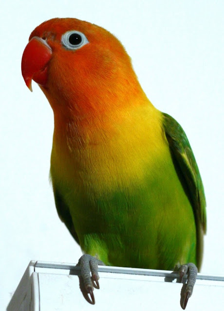 Persiapan Dalam Perawatan Lovebird Muda Agar Menjadi Juara
