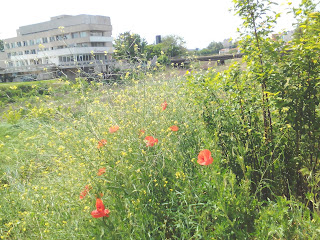 Poppies, River Tundzha, Yambol,