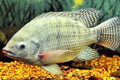 Ikan Mujair untuk Asam Urat