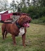 jenis-jenis anjing