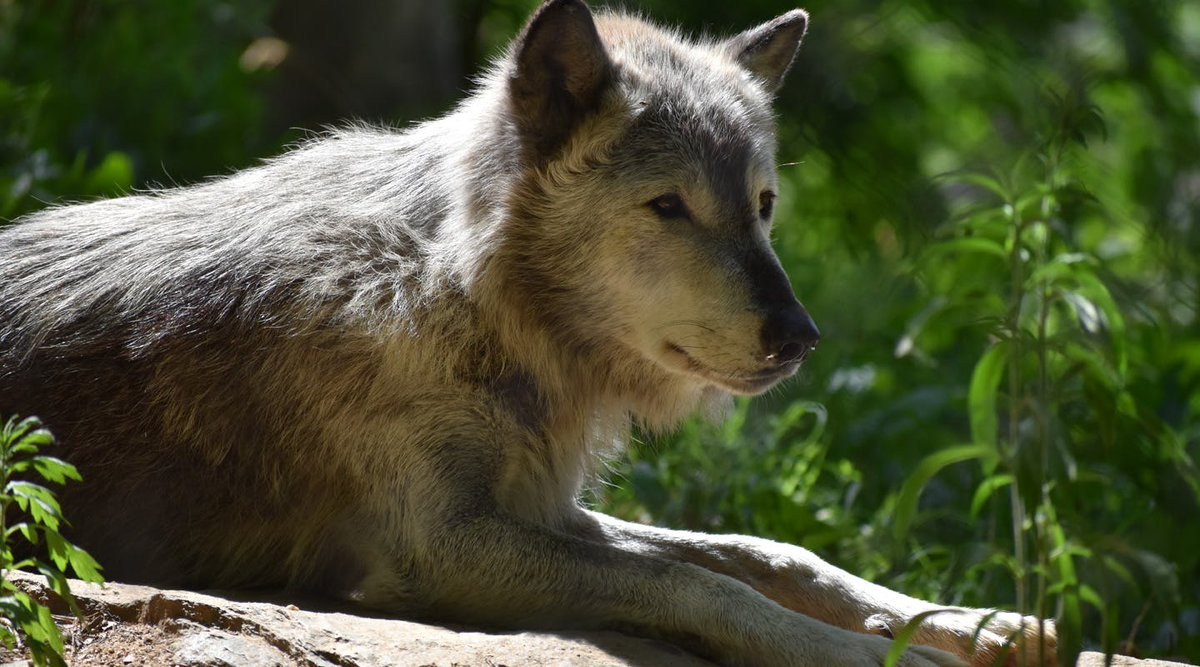 protect the gray wolves Wisconsin is one of about a dozen states in the country with a wild gray wolf population gray wolves, also referred to as timber wolves, are the largest wild members of the dog family wolves are social animals, living in family groups or packs.