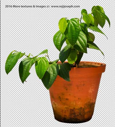 PNG Pepper Plant 00001