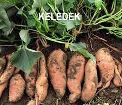 Image result for ubi keledek