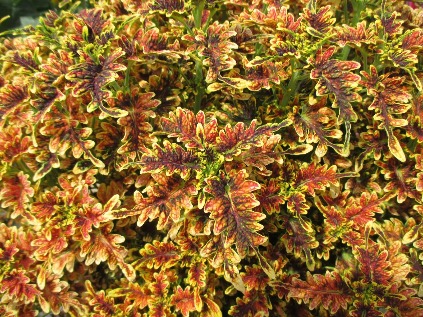 Under The Sea Coleus Over The Top Rotary Botanical Gardens