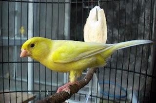 cara merawat burung, kenari cepat gacor,
