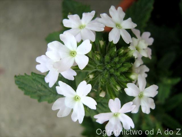 Verbena x hybryda