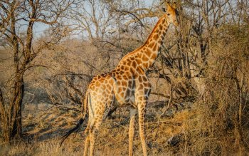 Wallpaper: Wild Giraffe in African Safari