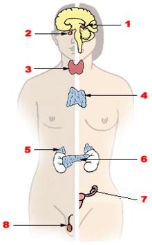 A szervezet 7 mirigye
