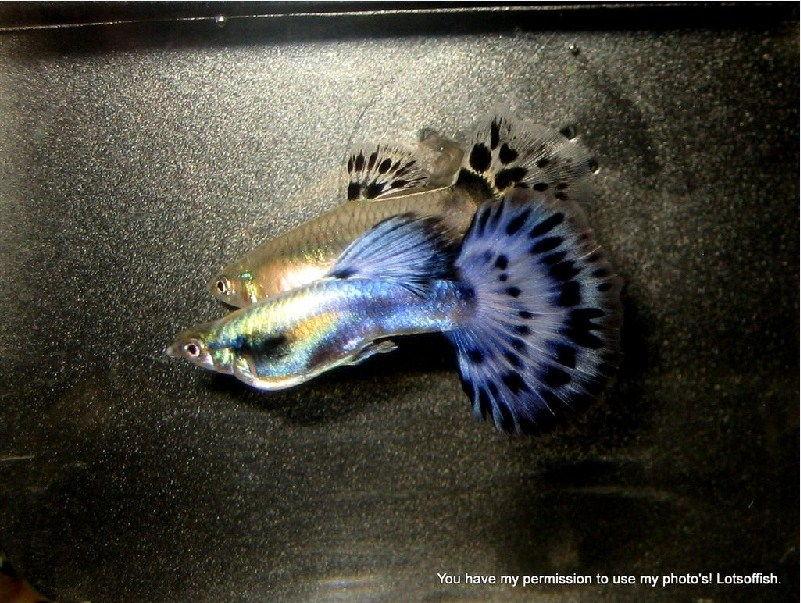 Jensi dan harga ikan guppy sekarang ini