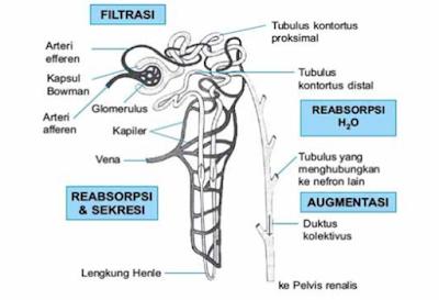 Proses Pembentukan Urine Pada Manusia