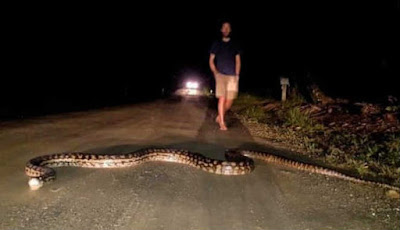 ular piton 7 meter