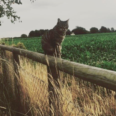tabby cat on the fence