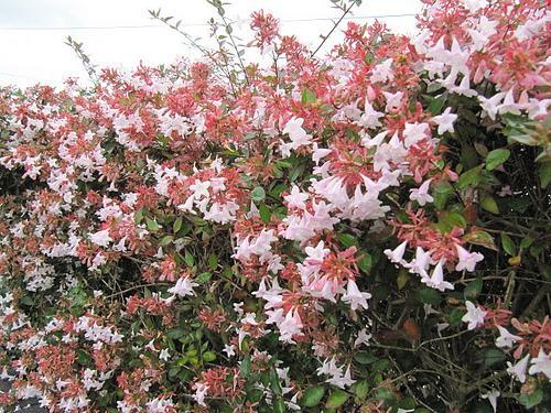 Viveiro ciprest plantas nativas e ex ticas ab lia for Plantas arbustos de hoja perenne