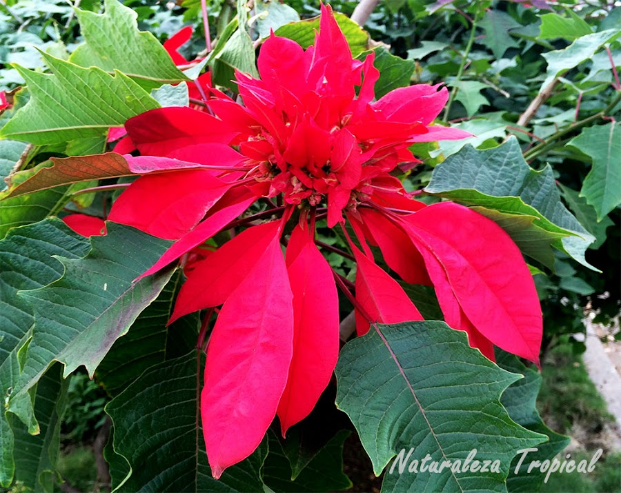 Brácteas características de la Flor de Pascua, Euphorbia pulcherrima. Planta purificadora.